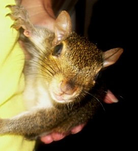 "Grey Squirrel: ""Luci"""