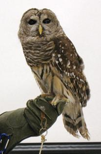 "Barred Owl: ""Tosh"""